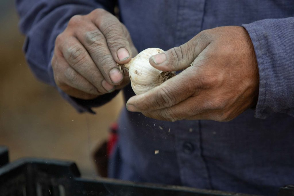 Cleaning garlic by hand (click image for more)