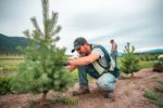 nursery labourer pruning a coniferous tree at Purple Springs Nursery in Armstrong BC