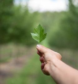 toba hawthorn leaf closeup