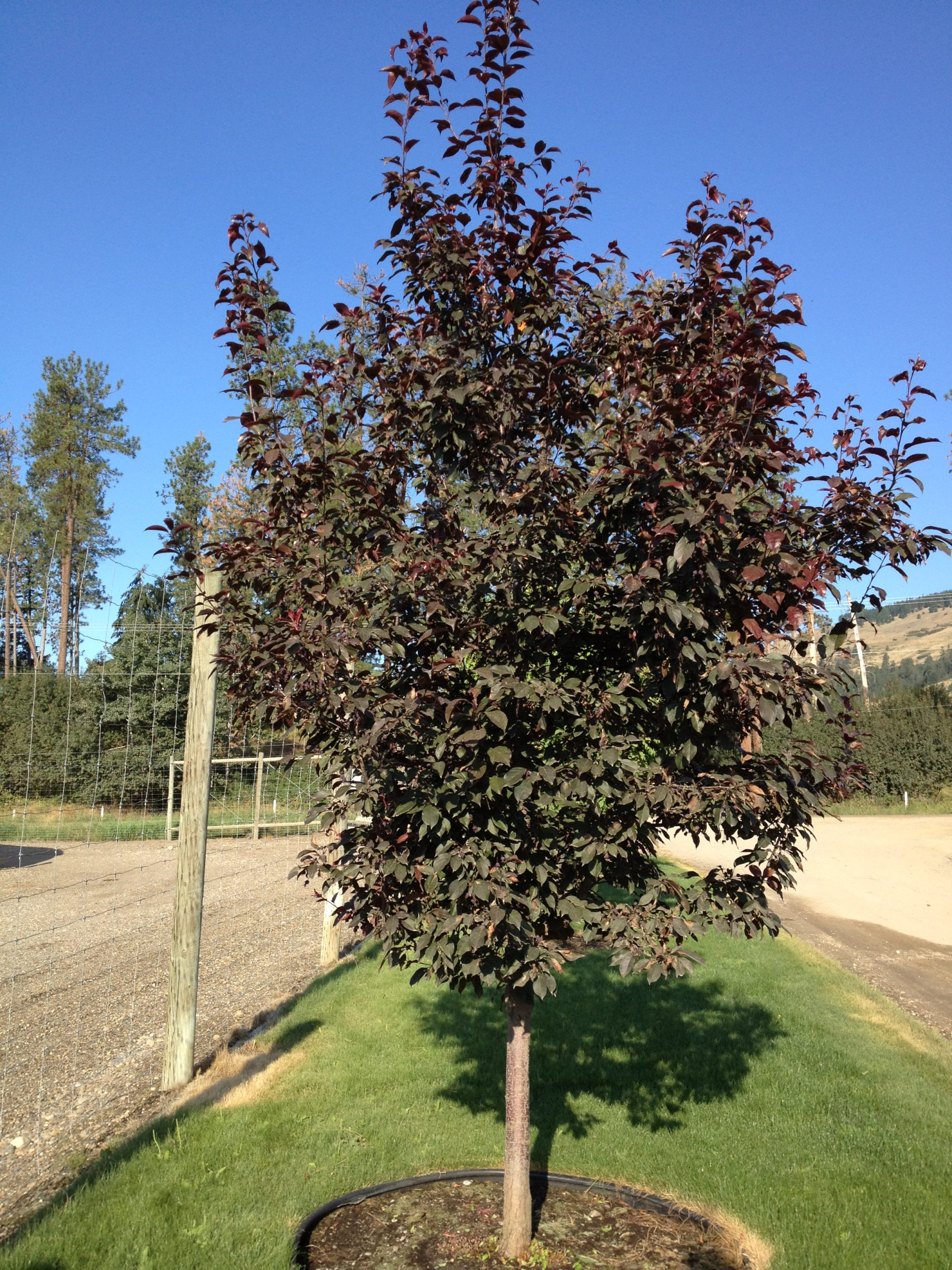 thunderchild crabapple growing at a tree nursery