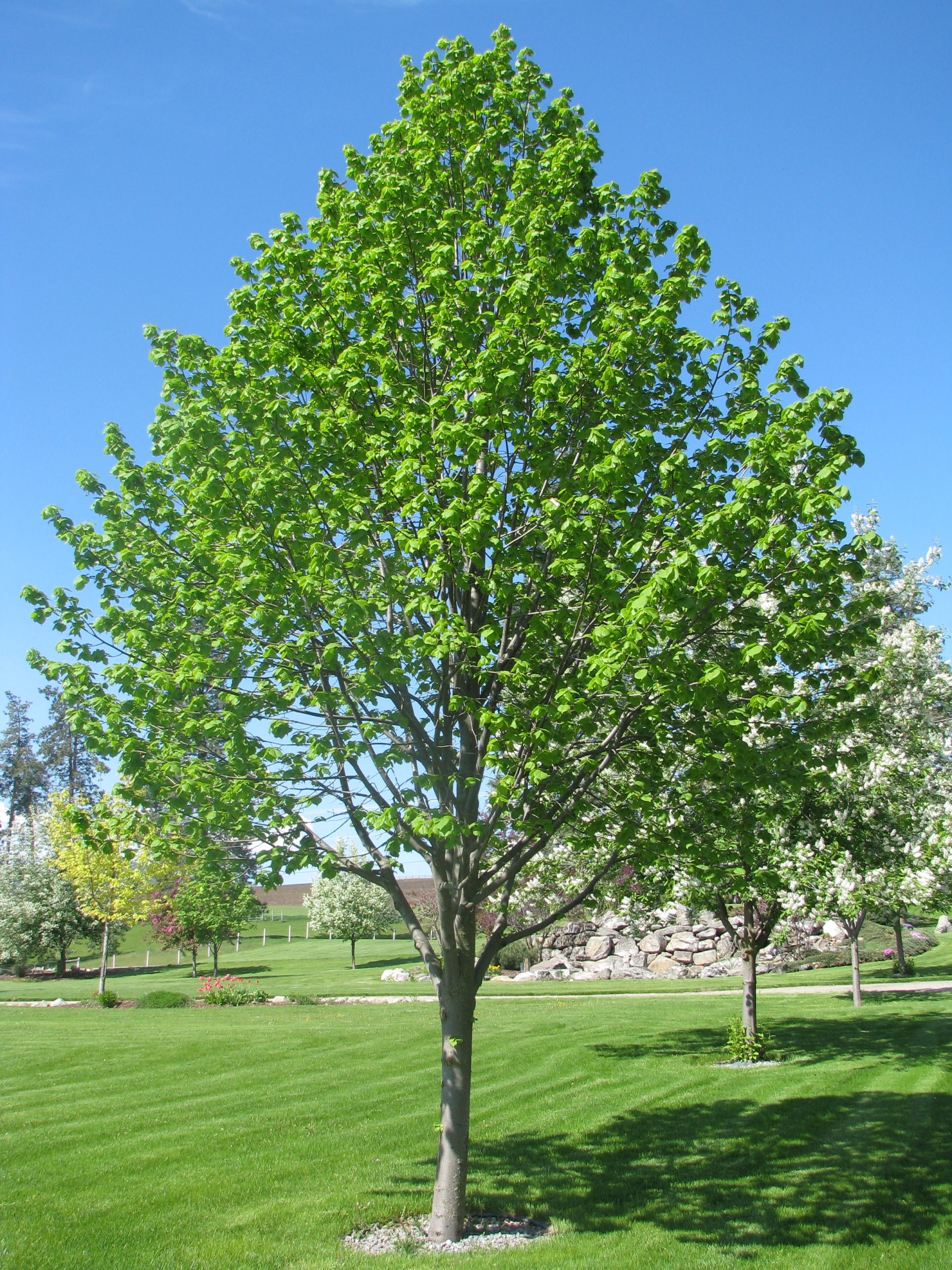 mature greenspire littleleaf linden tree