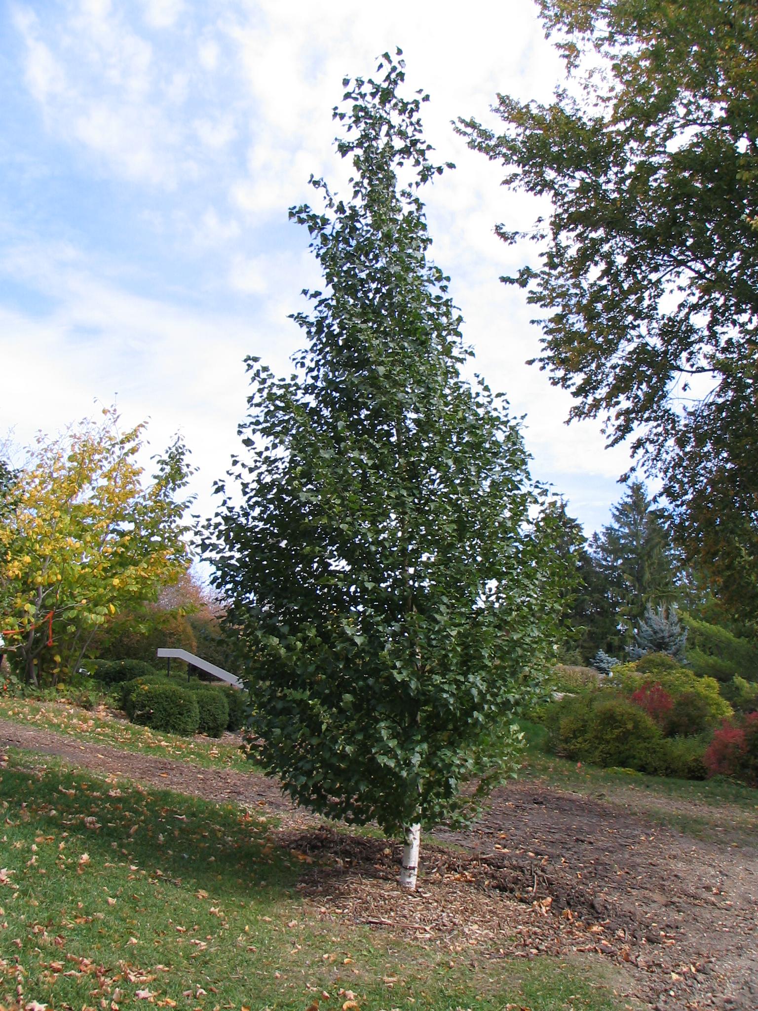Dakota Pinnacle Birch Image