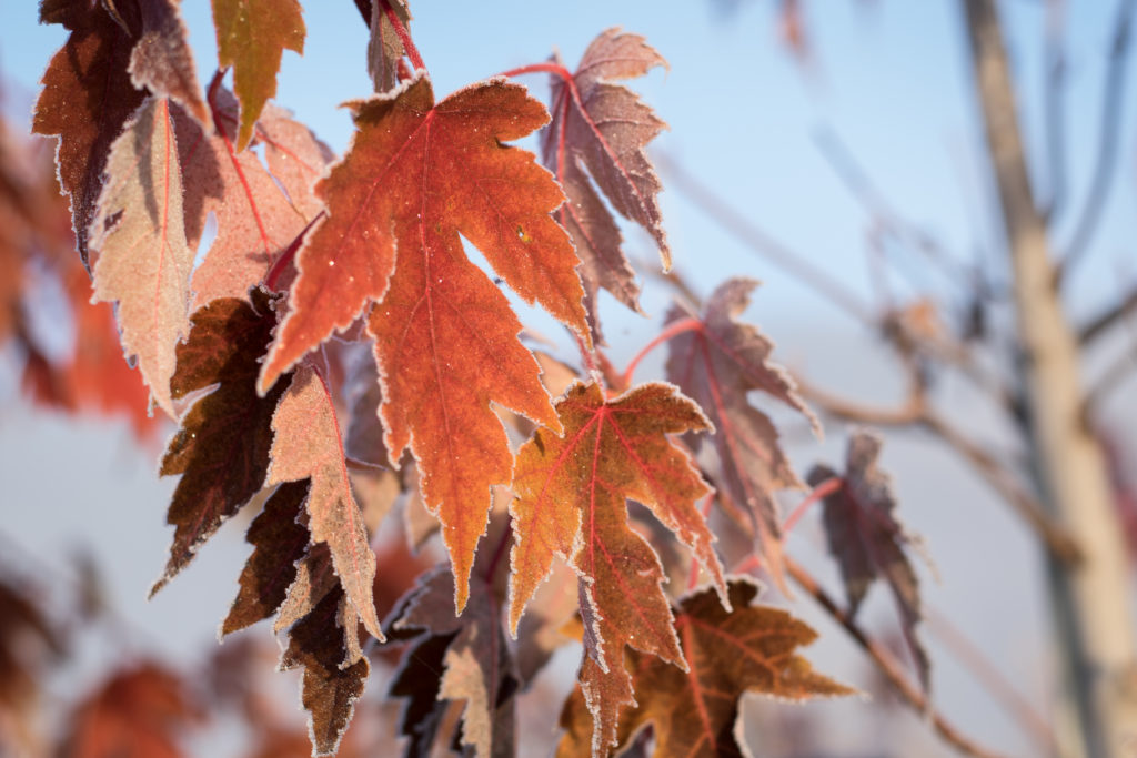 autumn blaze maple with frost on the edges