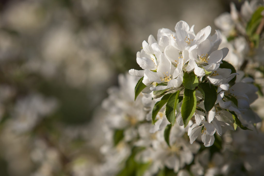 Spring Snow Crabapple (click image for more)