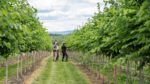 nursery workers examine an elm tree to decide how to prune