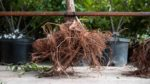 A tree with an exposed root ball and lots of fibrous roots