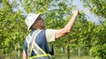 The Plant Health Department at Purple Springs Nursery examines the leaf of a Spring Snow Crabapple.