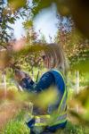 Plant health manager picks a leaf off a spring snow crabapple for a leaf sap analysis