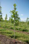 Burr oak tree in a field of burr oaks on a tree nursery