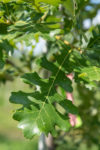 Burr oak leaf after a nutrient spray