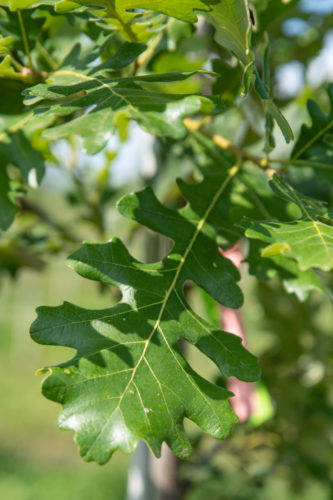 Burr oak leaf after a nutrient spray