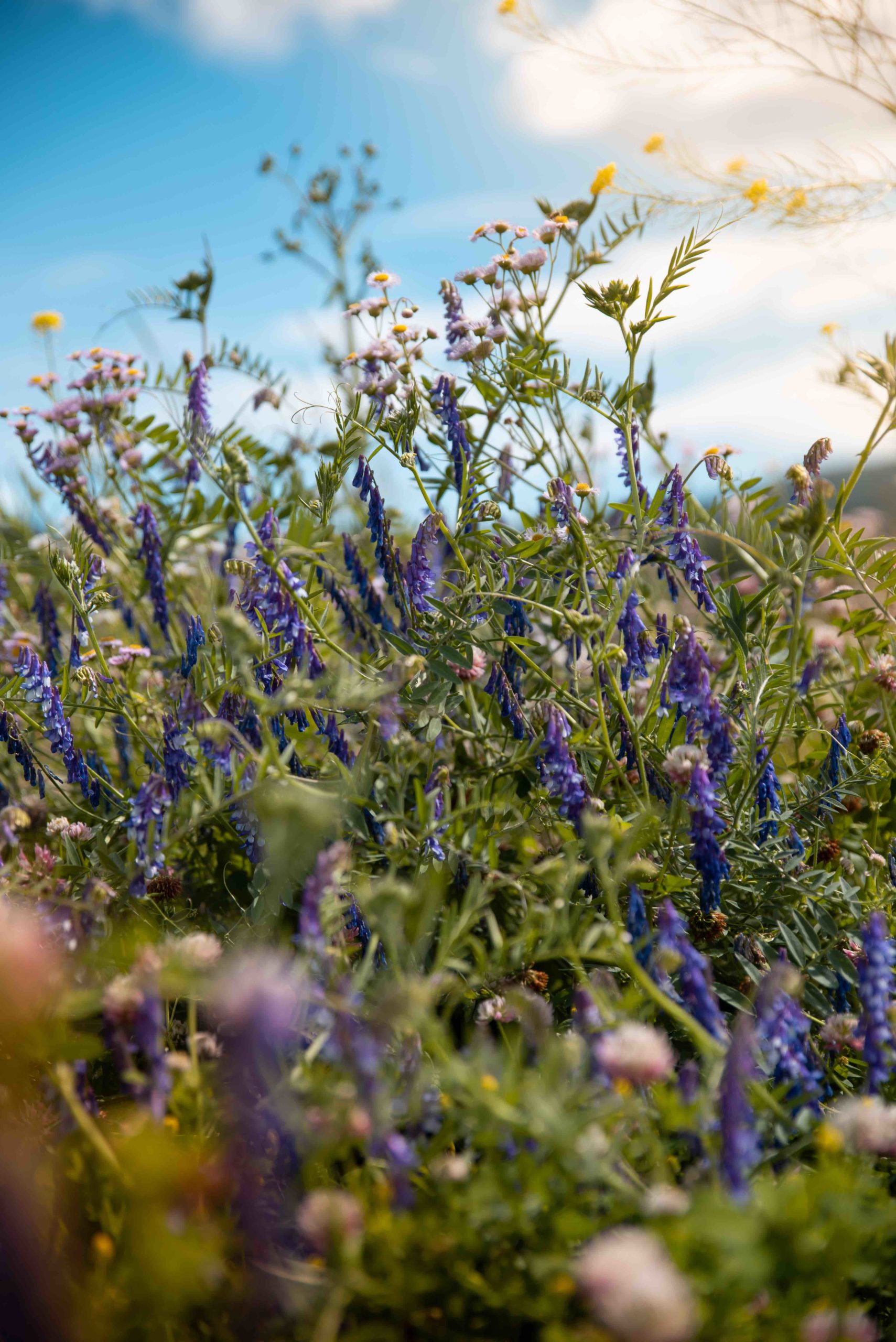 wildflowers grown to attract natural predators is a regenerative agriculture practice