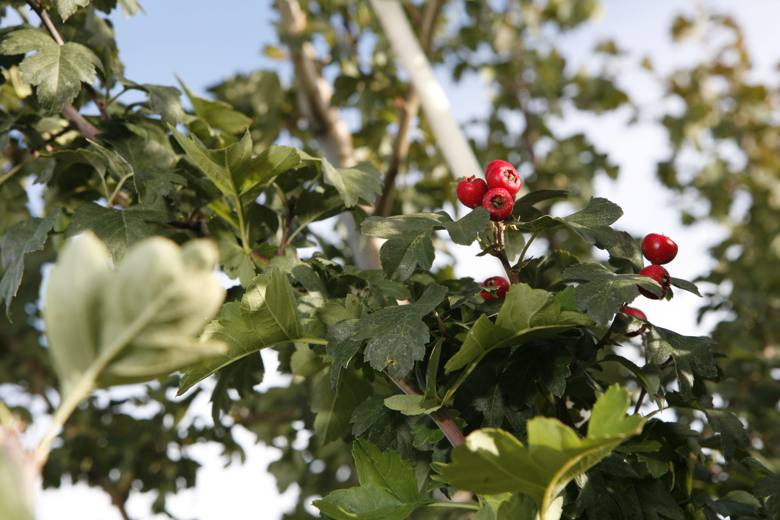 toba hawthorn berries amidst green leaves