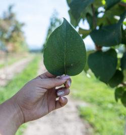 ivory silk japanese lilac leaf closeup