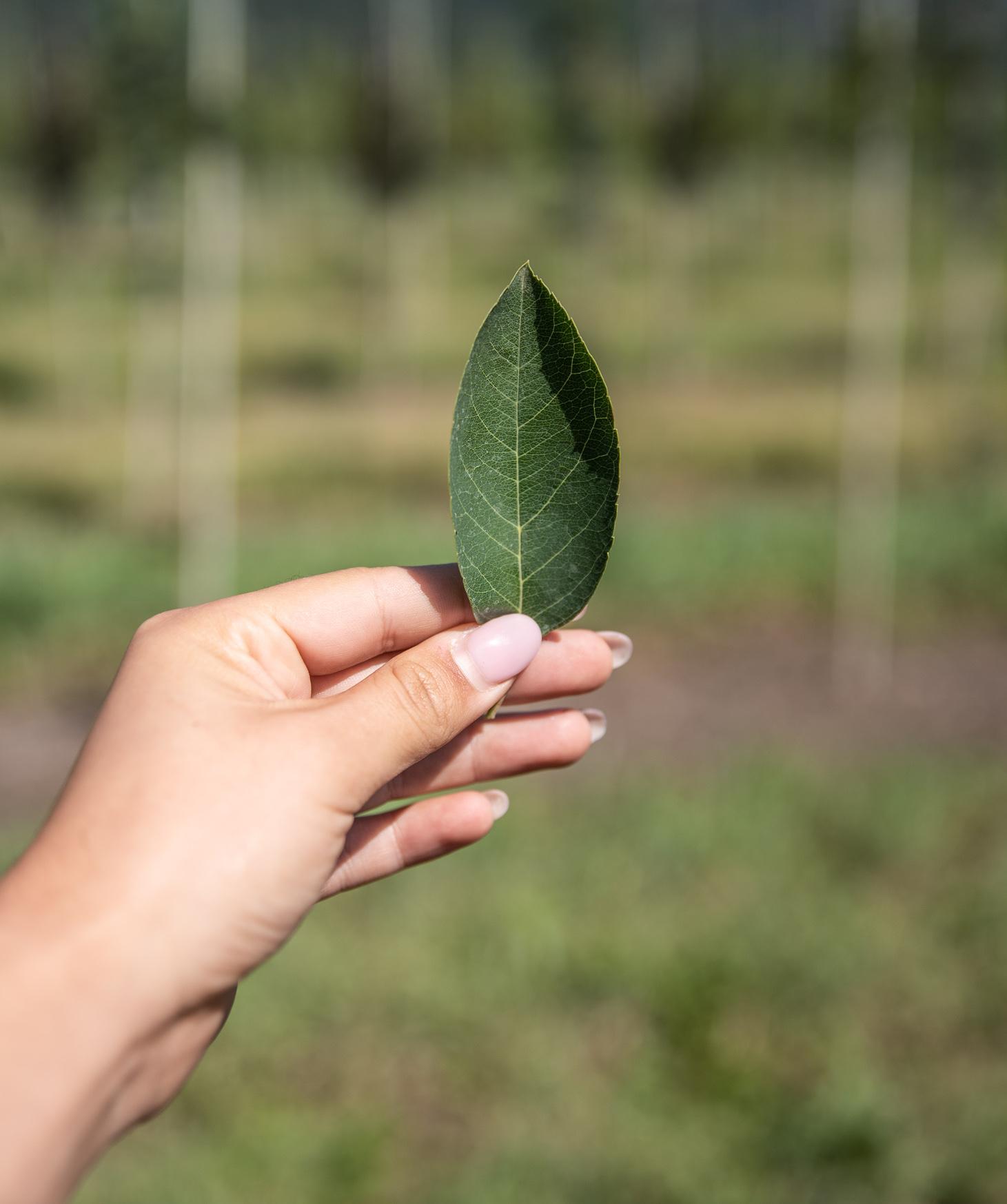 autumn brilliance serviceberry leaf closeup