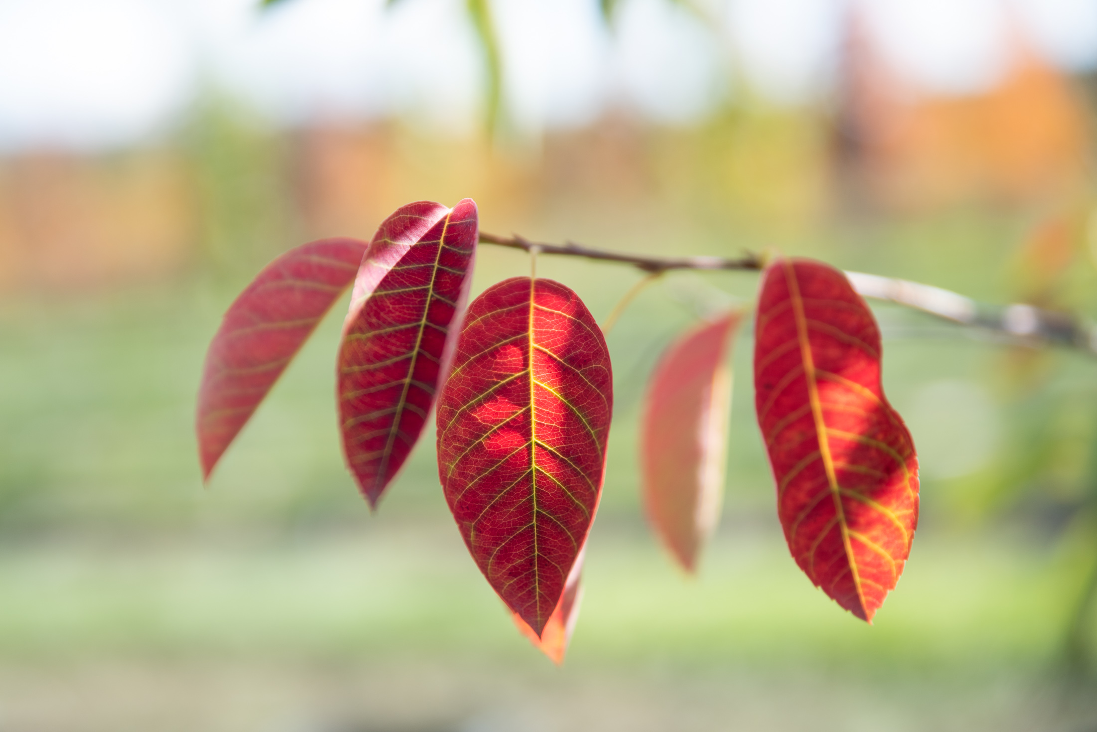 autumn brilliance serviceberry leaves with red fall colour
