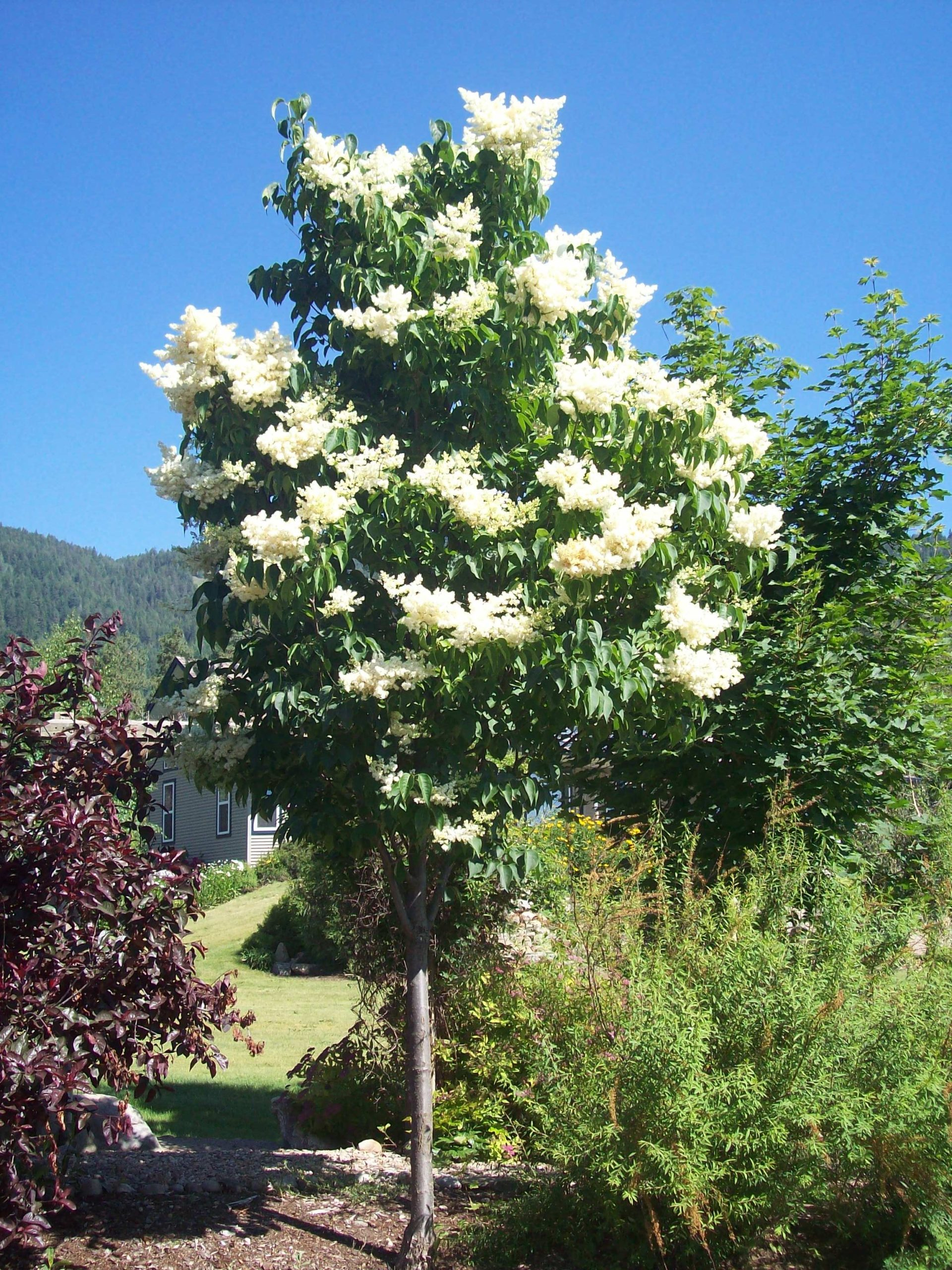 ivory silk japanese lilac with white flowers