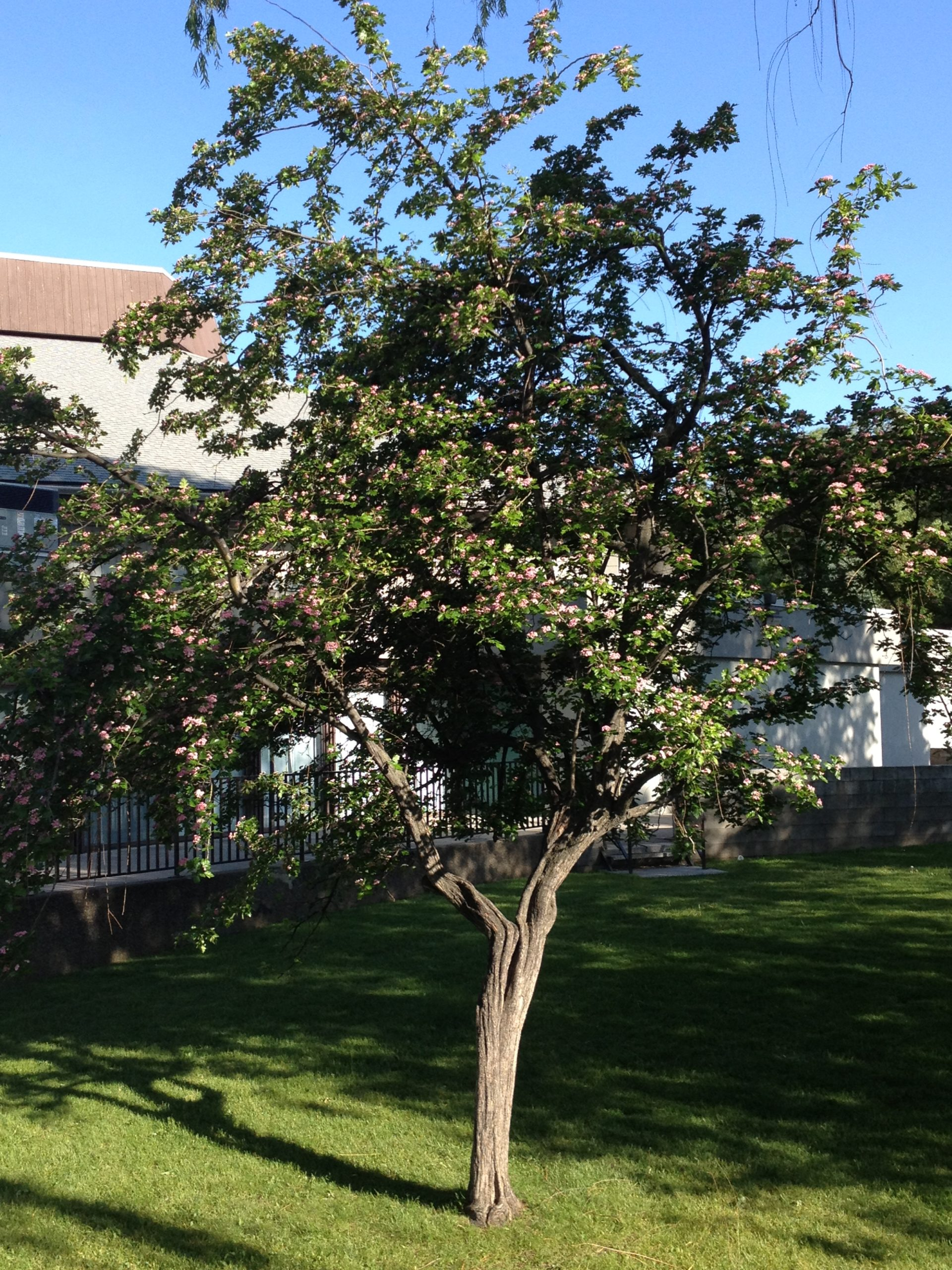 toba hawthorn growing in the front yard