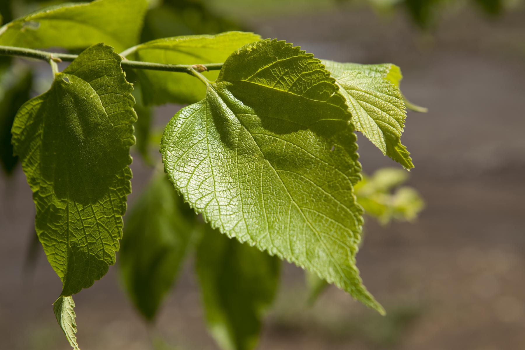 greenspire littleleaf linden tree leaf closeup