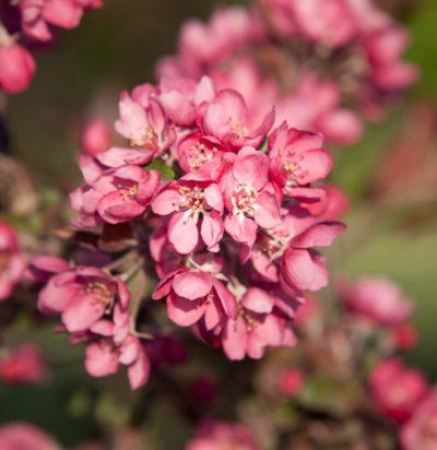thunderchild crabapple pink flower