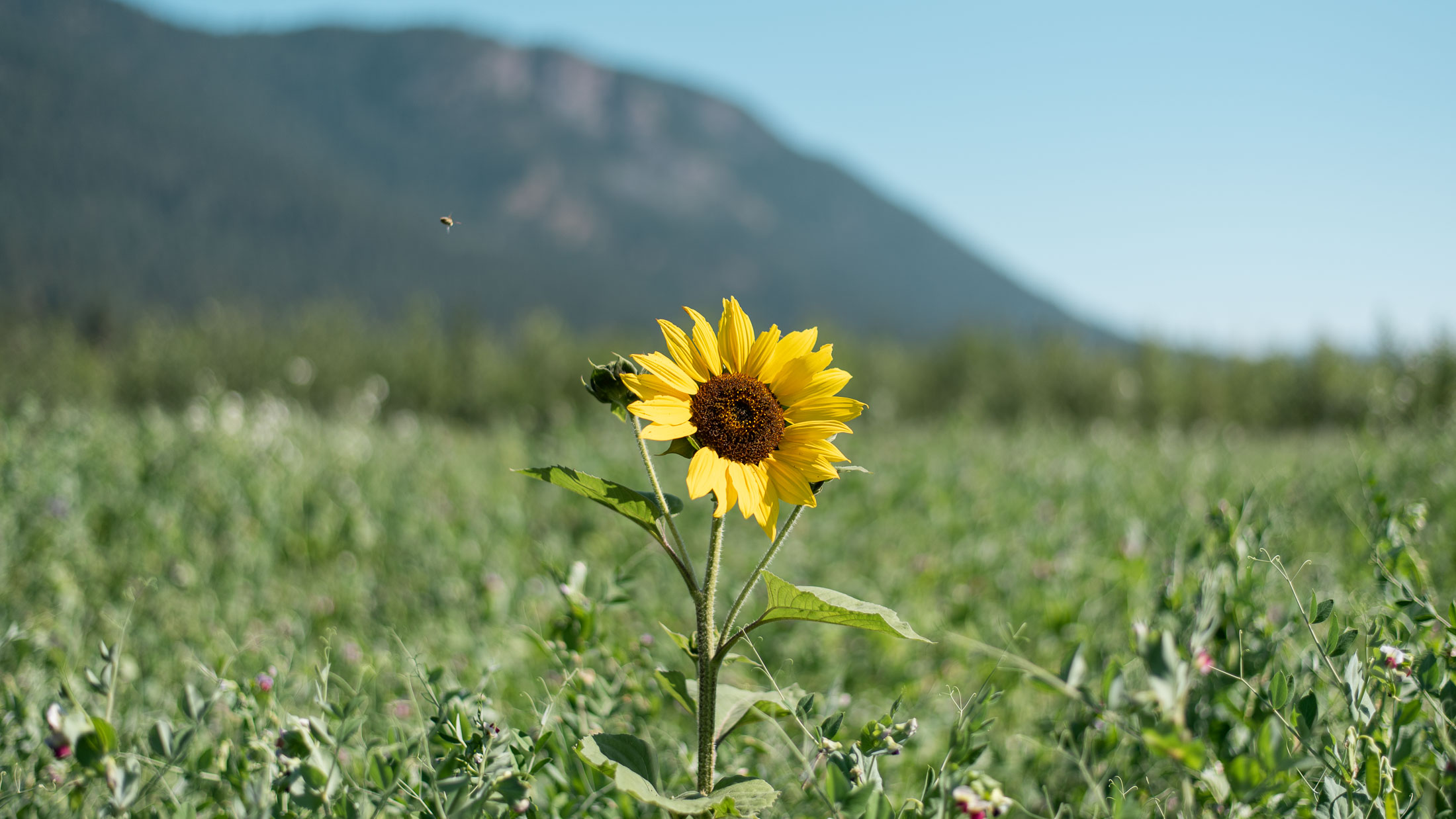 072820_sunflower-6