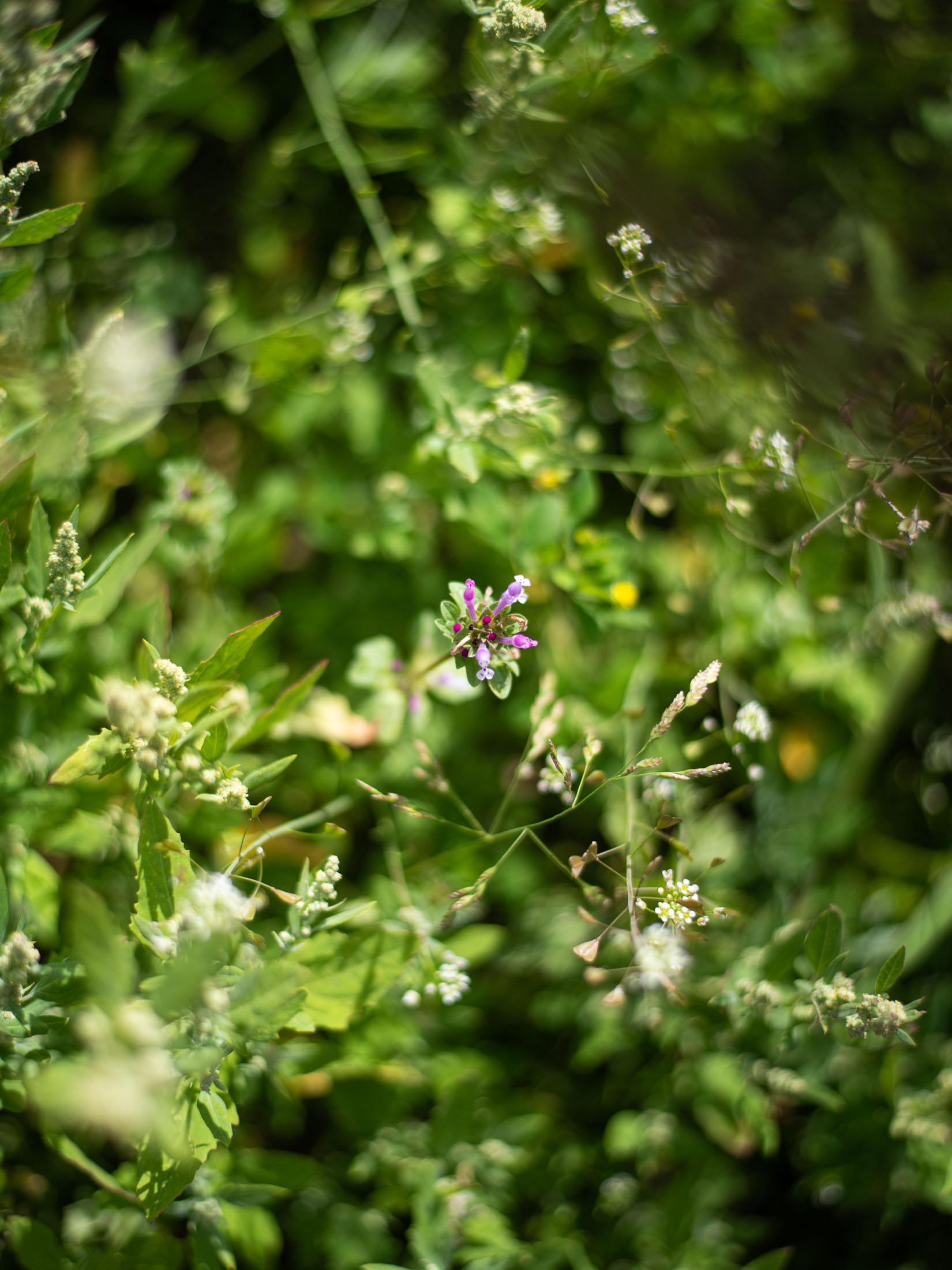 Henbit weed