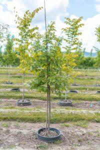 Burr Oak Image