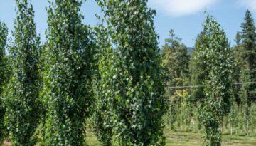 row of dakota pinnacle birch trees