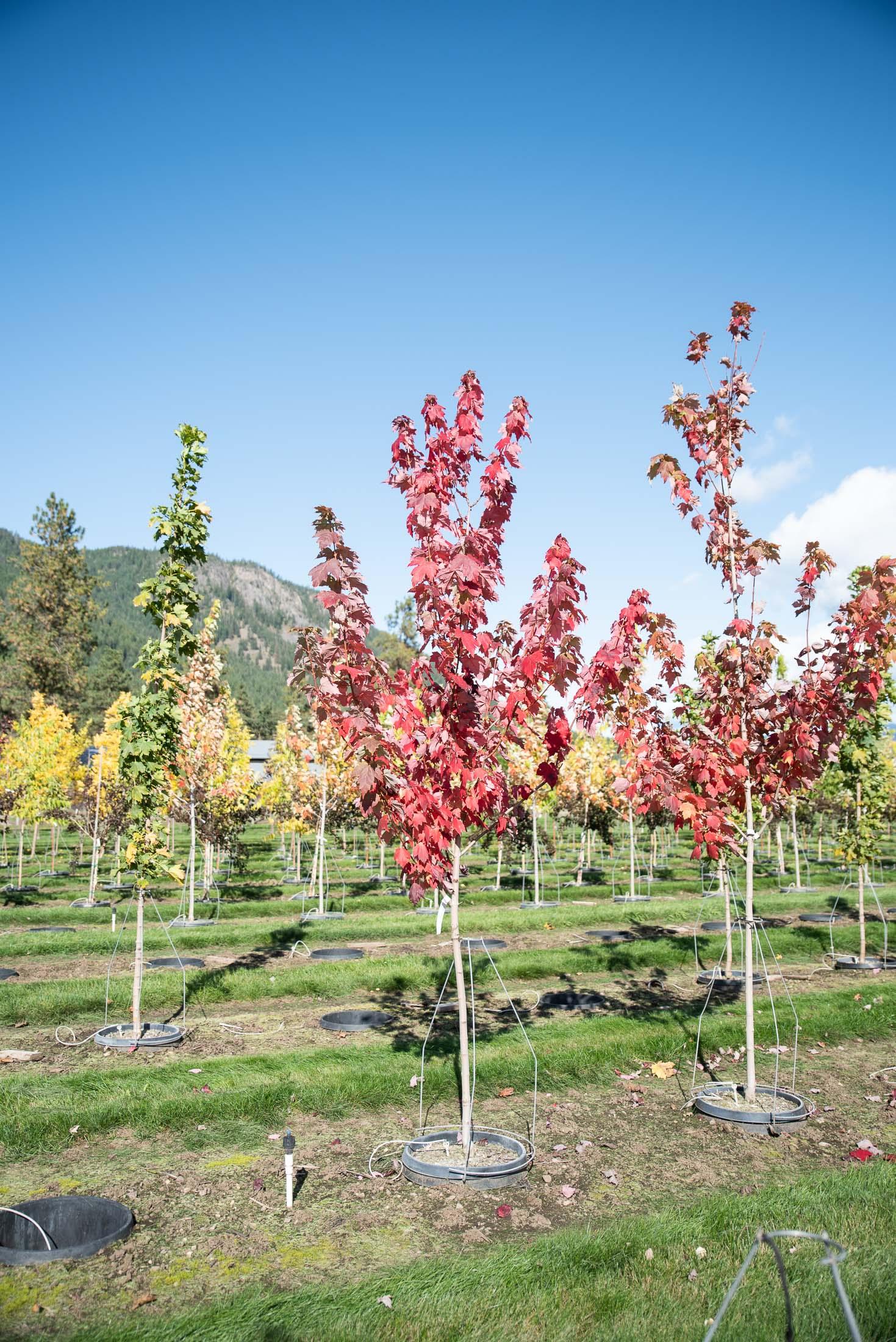Autumn Spire Red Maple Image