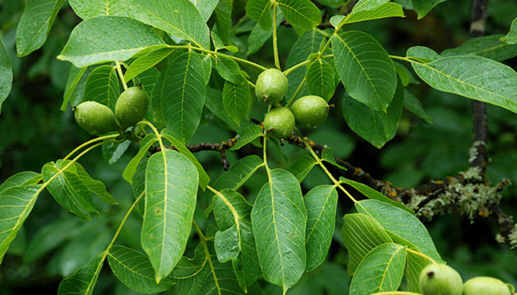 English Walnut Fruit