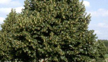 Redmond Linden tree 2