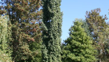 Swedish Columnar Aspen Tree 02